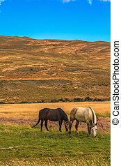 chevaux, deux, pâturage