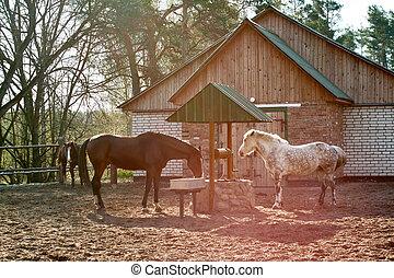 chevaux, eau, boire