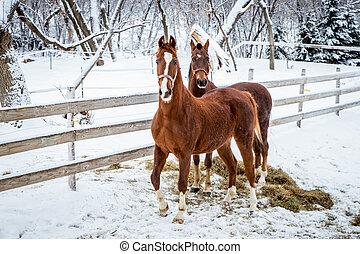 chevaux, frais, deux, snow.