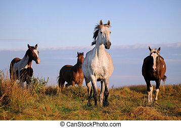 chevaux, galoper, sur, champ