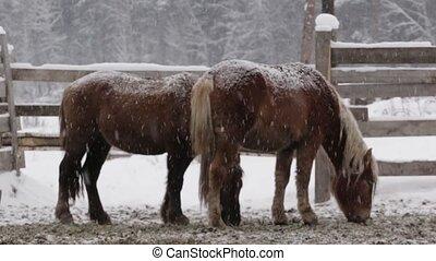 chevaux, hiver, ferme, deux, neige, sous, froid
