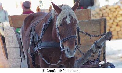 chevaux, hutsul, charrette, harnessed