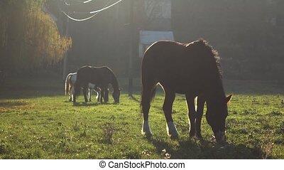 chevaux, lent, trois, mouvement, mastication, lawn., herbe