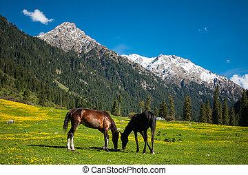 chevaux, montagne, deux, champ
