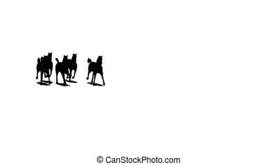 chevaux, nearer, loin, silhouette, troupeau, courant, arrière-plan noir, garde, blanc, vient