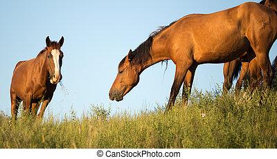 chevaux, pâturage, coucher soleil
