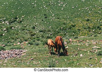 chevaux, pâturage, deux