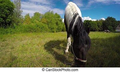 chevaux, pâturage, ensoleillé, paire, pâturage