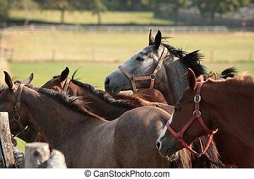 chevaux, pâturage