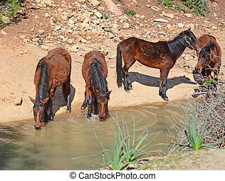 chevaux sauvages, boire