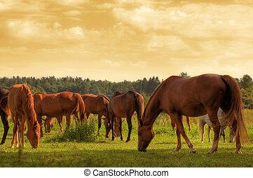 chevaux, sur, les, champ