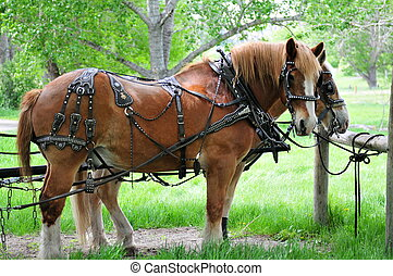 chevaux, tout, haut, harnessed