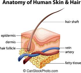 cheveux, anatomie, peau humaine