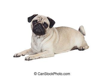 cheveux, blanc, chien pug, gentil