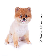 cheveux, brun, chien court, pomeranian