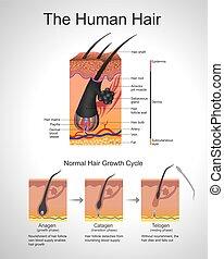 cheveux, humann