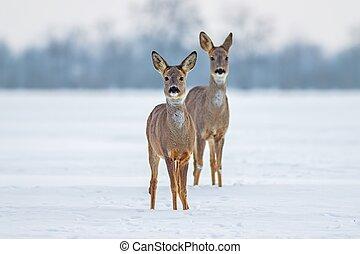 chevreuil, cerf, hiver, deux