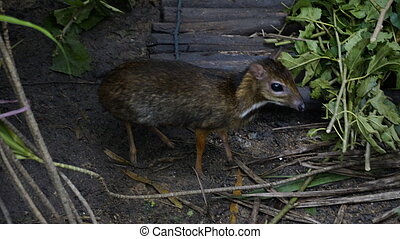Chevrotains, also known as mouse-deer, are small ungulates that mak rainforest Malaysia Langkawi.