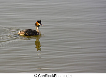 Great Crested grebe swimming on Chew Valley Lake in Somerset UK