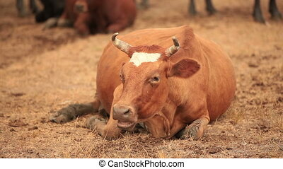 Chewing brown cow lies on a pasture
