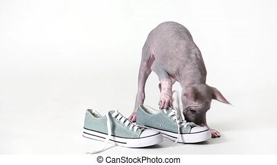 Chewing on a boot - Mexican xoloitzcuintle puppy dog chewing...