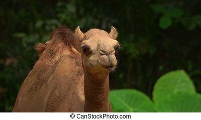 Chewing one-humped camel among green vegetation. Ultra HD footage 4k