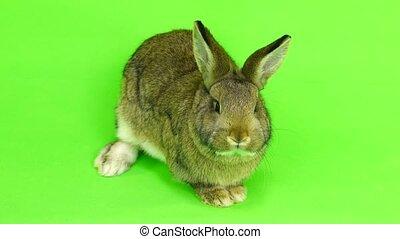 chewing rabbit on gren screen  (three months old)