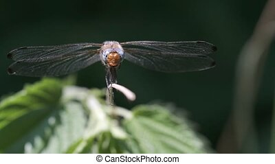 Chewing Scarce chaser - Libellula fulva in a macro shot