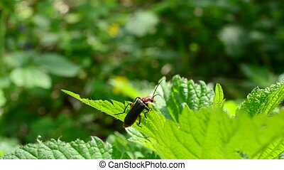 Chewing soldier beetle sitting on lush nettle plant and eating