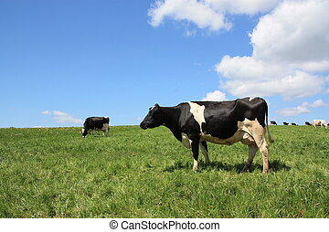 A Holstein-Friesland dairy cow stands in the sun in a pasture quietly chewing grass.