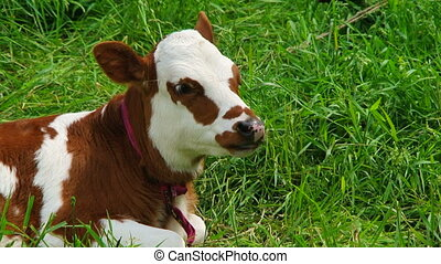 Chewing White And Brown Calf Lying On Green Pasture - This...