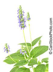 Chia flower - Beautiful purple flowering chia plant on white...