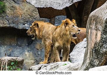 chiangmai, dos, león, tailandia, zoo