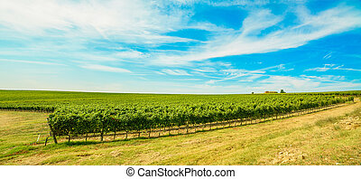 Chianti region, vineyard field and farm on background. Tuscany, Italy, Europe.