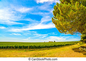 Chianti region, vineyard, pine tree and farm. Tuscany, Italy, Europe.