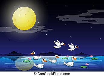 chiaro di luna, stagno, scenario, anatre