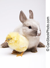 Chick and bunny - Little chick on rabbit on white