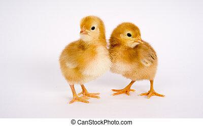 One Newborn Chicken Couple stands together