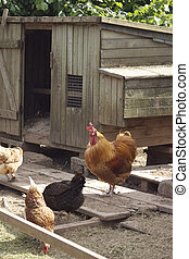 Chick Coup - A wooden constructed chicken coup with a brown...