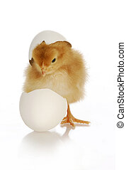 chick hatching - cute newborn chick coming out of the egg on...