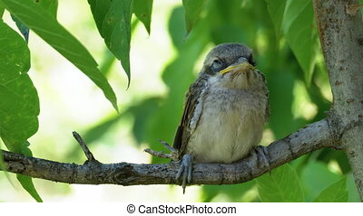 Chick sitting on a tree branch in green forest. Close-up of eyes, beak, and plumage. Portrait of Little bird baby on Background of Green leaves. Nestling just flew out of nest. Muzzle of Animal Macro.