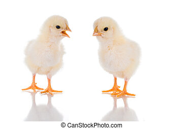 Chick Talk - Photo of two cute baby chicks, with reflection...