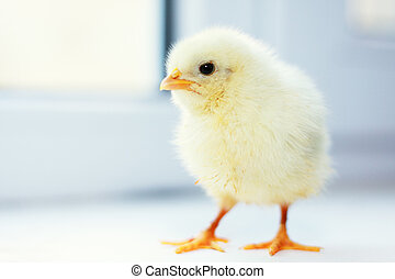 Chick walks at window