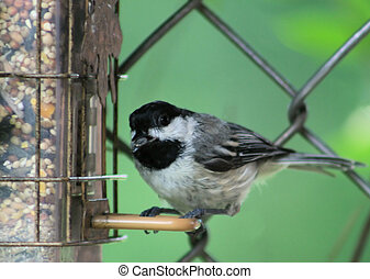Chickadee at the Feeder