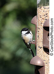 Chickadee, Black-Capped - Black-Capped Chickadee on a bird...