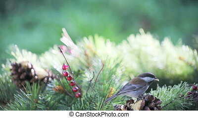 chickadee bright background - chickadee feeds from a pine...