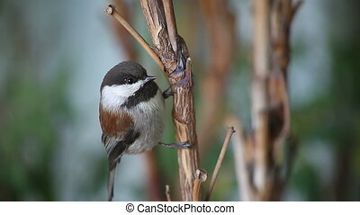 chickadee close-up - a chestnut-backed chickadee watches the...