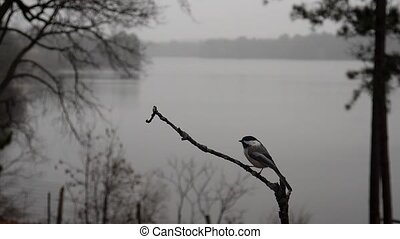 Chickadee flies away from a lake perch. - Slow motion clip...