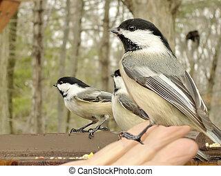 chickadee, hand