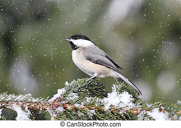 Black-capped Chickadee (poecile atricapilla) perched on branch in a light snow fall